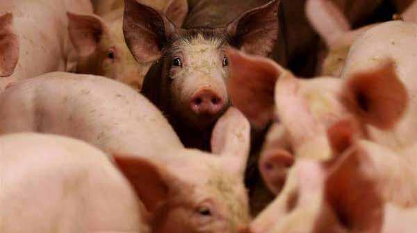 Crisis en la producción porcina