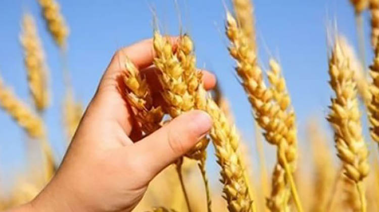 Todo sobre trigo