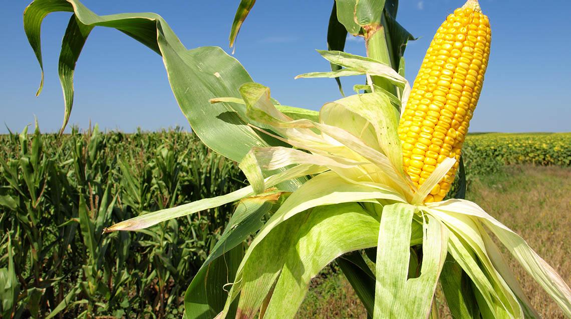 Manejo del cultivo de maíz