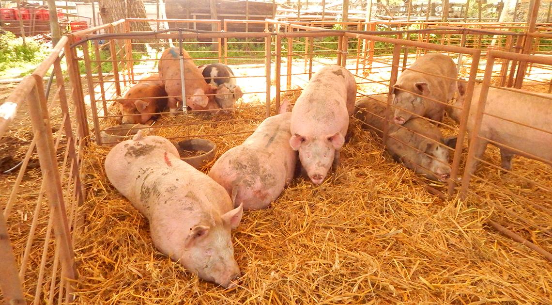 Porcinos para la expo
