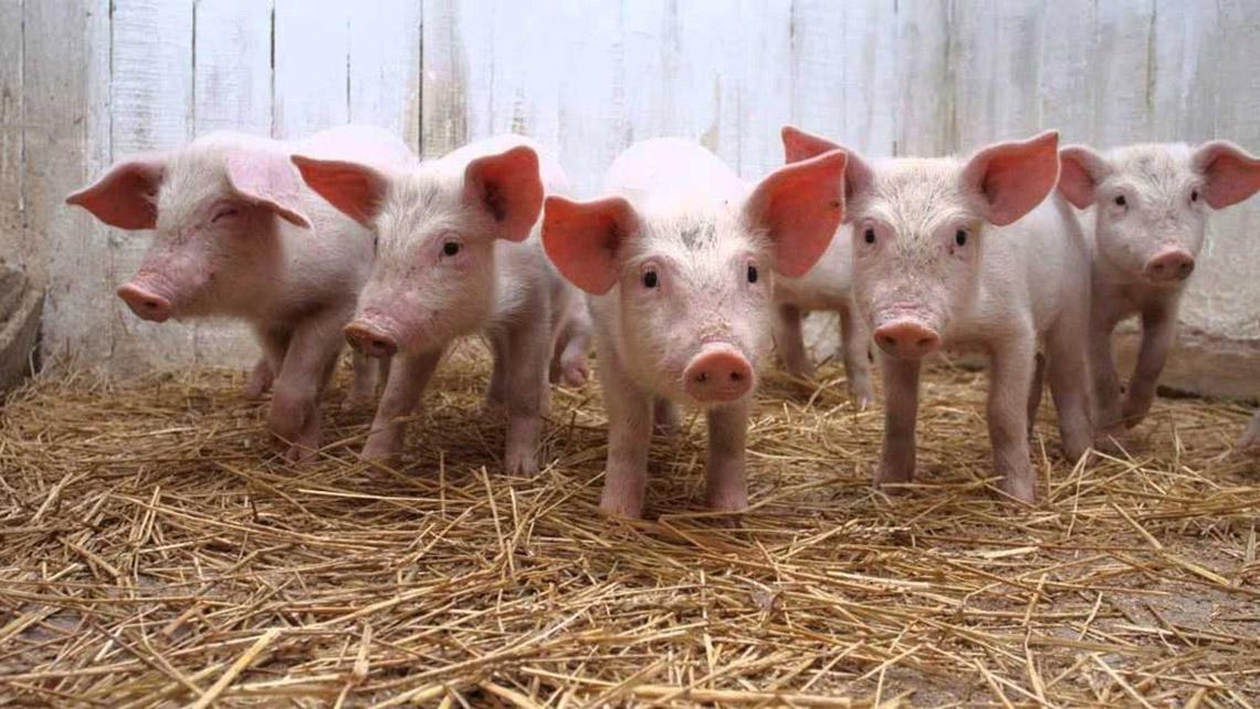 Charla de producción porcina