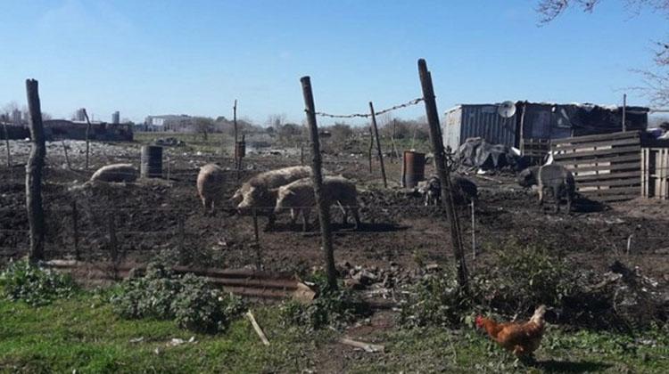 Clausuran criaderos de cerdos