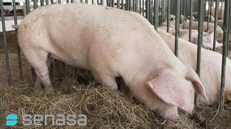 Proteger la sanidad porcina