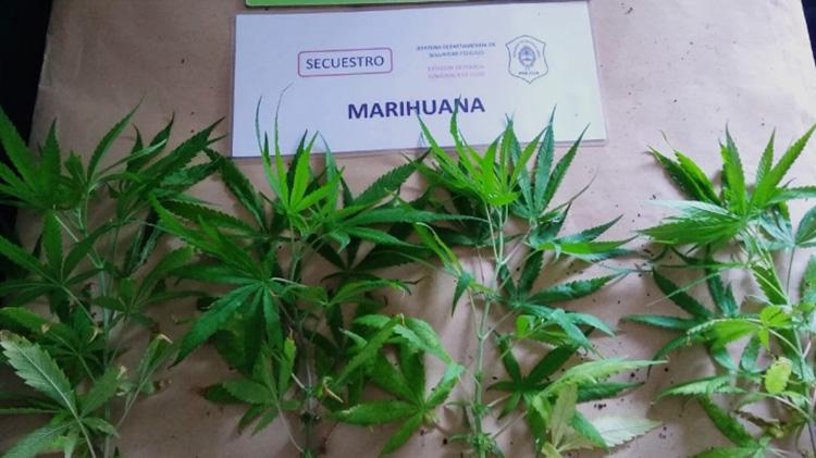 Incautan plantas de marihuana